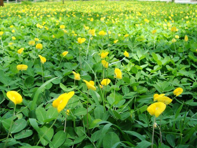 ปลูกพืชคลุมดินแทนหญ้า แดดก็ได้ ร่มก็ดี